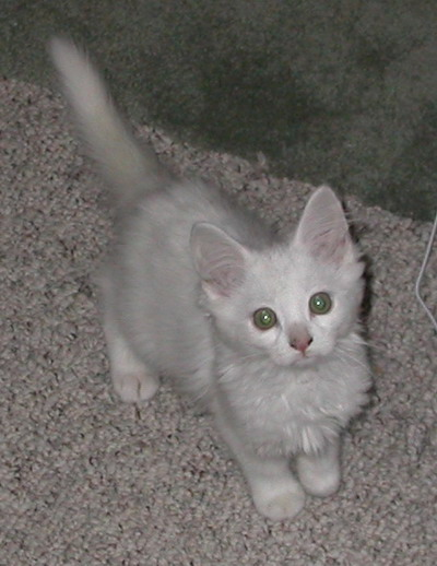 Kitten by Josh Poulson